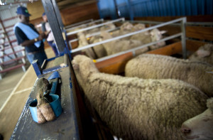 Ready for shearing: The sheep are loaded into pens: By Madelene Cronje
