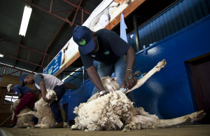 Ready, Steady GO: Shearers at a training camp in Bloemfontein in 2011: By Madelene Cronje